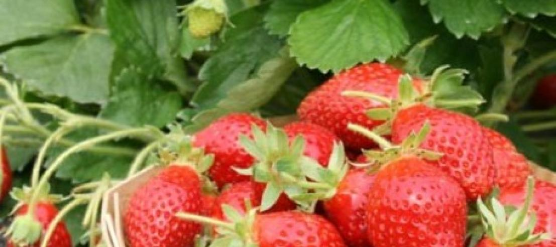 fraises profitez chaque jour de la cueillette du matin. Black Bedroom Furniture Sets. Home Design Ideas